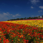 photo of Flower Fields of Carlsbad by Bill Gracey